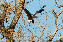 Bald Eagle launch in the morning light - 9 of 13
