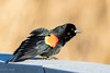 Redwing Blackbird (mayekarulhas) Tags: blackbird red redwing heinz philadelphia pennsylvania bird avian wildlife wild canon7dll canon