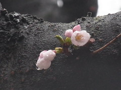 Cherry blossoms in the rain (nofrills) Tags: flora floral plant plants flower flowers blossom blossoms cherry cherryblossom cherryblossoms season spring 桜 ソメイヨシノ urbantree japan weather rain raindrop raindrops waterdrop waterdrops water 桜色