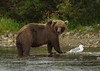 Only half way through lunch (♞Jenny♞) Tags: grizzliesofbattleriveralaska alaska bears river jennygrimm 2013 specanimal