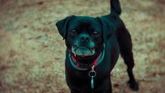 Robbie (JulianM. Photography) Tags: dog dogs pet pets cool awesome blackmagic blackmagicpocketcinemacamera bmpcc