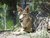 Akron Zoo 06-06-2014 - Coyote 7 (David441491) Tags: coyote canine akronzoo