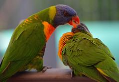 Feeding time_1942 (gtveloce) Tags: feedingtime lorikeets rainbow centralcoast nsw australia birds