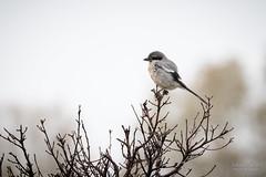 Grisaille (Fabien Serres) Tags: laniidés laniusmeridionalis oiseau passériformes piegriècheméridionale southerngreyshrike bird estrémadure espagne extremadura