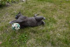 Konkurrenz für Manuel Neuer :-D (explored) (Jana`s pics) Tags: cat katze composing fusball football torwart keeper soccer
