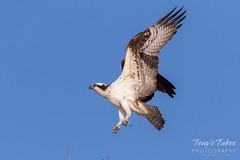 Male Osprey landing sequence - 14 of 28