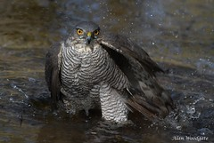 Sparrowhawk (female) - Bedfordshire (Alan Woodgate) Tags: