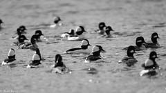 Birds of a Feather-Bufflehead Ducks (david byng) Tags: esquimaltlagoon spring beach vancouverisland pacificocean birds canada britishcolumbia colwood