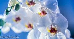 In the Light of Spring (frederic.gombert) Tags: flower flowers light blue white sun sunlight indoor inside color colors colorful orchid orchidee macro nikon spring