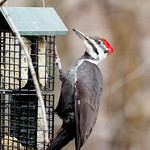 Woodpecker, Pileated thumbnail