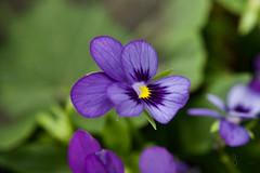 Little purple flower (Cathy's Photography) Tags: purple purpleflower flower flowers outdoor outside wild wildflower yellow green canon canon5dmarkiv canon5d ef100mmmacro ef100mmmacrolens ef100mm iso640 f5 160