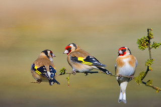 Goldfinch Trio ~ Composite ~ Explored