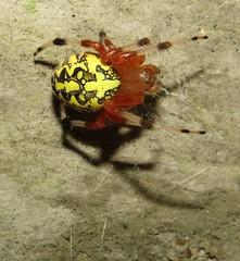 Marbled Orbweaver (Bug Eric) Tags: animals wildlife nature outdoors arachnids spiders orbweavers orbweaver araneidae araneae arachnida female bombayhooknationalwildliferefuge delaware usa marbledorbweaver araneusmarmoreus northamerica october12017