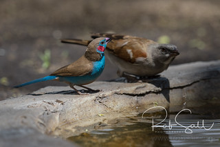 Blue-cheeked Cordon-bleu & Grey-headed Sparrow
