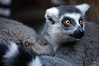 DSC_3135 (hollyzade) Tags: nikond40 nikon animal toronto zoo eyes cuddle fur portrait bokeh nose cute animals staring