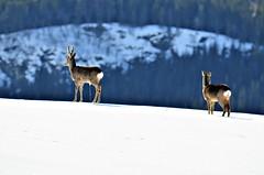 """""""pissepause""""......(oh deer!) (KvikneFoto) Tags: rådyr roedeer vinter winter snø snow tamron nikon bokeh natur norge hedmark kvikne landskap"""