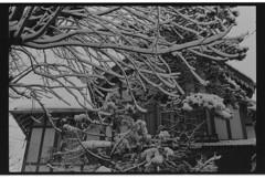 P59-2018-016 (lianefinch) Tags: argentique argentic analogique analog blackandwhite blackwhite bw noirblanc noiretblanc nb monochrome neige snow arbre tree jardin garden outdoor extérieur house maison