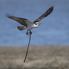 Taking a new stick to the nest  {Explored!  Thank you very much!!} (Mawrter) Tags: osprey bird birding avian flight nesting canon forsythenwr brigantine springtime spring nature wild wildlife flying motion action explore explored interest interesting view views sky animal landscape sea