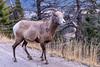 Banff (aud.watson) Tags: canada canadianrockies alberta banffnationalpark banff banffviewpoint snowpeak mountain mountains valley forest wood conifers road animal bighornsheep oviscanadensis ca