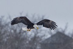 Bald Eagle (Peter Stahl Photography) Tags: baldeagle eagle sring hunting adult snow gophers alberta sturgeoncounty