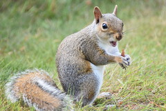 Squirrel (111) (John Carson Essex UK) Tags: thegalaxy thegalaxystars thegalaxylevel2 rainbowofnature supersix