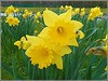 Springtime on Camera .. (** Janets Photos **) Tags: uk flowers flora plants daffodils colouryellow nature springtime closeups macro