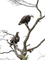 Bald Eagles (johnkarp) Tags: baldeagle haliaeetus haliaeetusleucocephalus spring animal bird eagle nature outdoor wildlife capemay newjersey unitedstates