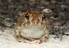 Desert Spade-foot (Notaden nichollsi) (Jordan Mulder) Tags: desert spade foot frog wildlife road animal amphibian notaden nichollsi