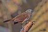 BROWN  BABBLER // TURDOIDES  PLEBEJUS (23cm) (tom webzell) Tags: naturethroughthelens