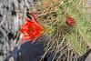 CAE010735a (jerryoldenettel) Tags: 180329 2018 beehivecactus cactaceae caryophyllales coreeudicots echinocereus echinocereuscoccineus nm oliverleestatepark oteroco scarletbeehivecactus wildflower cactus flower scarlethedgehogcactus scarlethedgehog