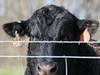 20180406-OSEC-LSC-0478 (USDAgov) Tags: highschoolfarm arnett perdue tour cattle dairycattle milkcow rv