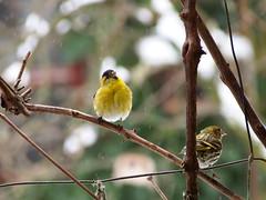 csízek / siskins (debreczeniemoke) Tags: tél winter kert garden madár bird csíz siskin eurasiansiskin europeansiskin commonsiskin tarindesaulnes erlenzeisig zeisig lucherinoeurasiatico scatiu carduelisspinus pintyfélék fringillidae olympusem5
