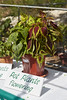 Honticultural Society Plant Show (ronmcmanus1) Tags: antigua caribbean flowersplants nature outdoors stjohns stjohnsparish antiguabarbuda ag