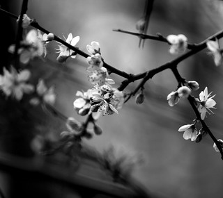 Blackthorn blossom II