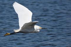 Snowy Egret (Minder Cheng) Tags: lakemerritt snowyegret oakland california unitedstates us