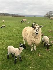 Spring Lambs (Simon Caunt) Tags: mintsauce yorkshiremoors yorkshire shoop sheeps sheep lambs spring
