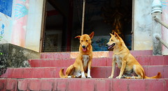 ,, Mother & Son ,, (Jon in Thailand) Tags: mama rocky k9 k9s thespirithouse themonkeytemple jungle blue pink burgundy tilesteps motherson nikon d300 nikkor 175528 dogsmile dogears dogtail smilingdog whitesox happydogs realhappydogs dogtongue dogs dog littledoglaughedstories