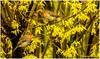 Together Again (lukiassaikul) Tags: creativephotography photopainting digitalpainting imagemanipulation spring springtime nature plants animal wildanimals wildbirds urbanwildlife robin europeanrobin