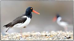 American Oyster Catcher (RKop) Tags: sandyhook newjersey raphaelkopanphotography d500 minolta600mmf4apog 14xtciii