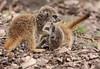 meerkat Burgerszoo BB2A0667 (j.a.kok) Tags: meerkat stokstaartje burgerszoo animal africa afrika predator mammal zoogdier dier