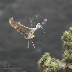 晨光里 (KevinBJensen) Tags: 鸟 野生动物 大自然 飞行 动物 野生 翅膀 户外 沒有人 鸟类 苍鹭 飞翔