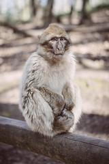 - Little monkey - (Rudy Pierrat) Tags: kintzheim grandest france fr photography monkey sony hautkœnigsbourg castle mountain wildlife animal sonyalpha eyes primate fur tree wood alsace basrhin popcorn