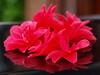 FALLEN (johnb/Derbys/UK) Tags: camellia flower bloom fallen arty red derbyshireuk myworld mystyle