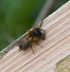 Tawny mining bee, male (Lancs & Lakes Outback Adventure Wildlife Safaris) Tags: macro zoom nikon d7200 tamron 600mm blackpool martonmere bee solitarybee miningbee tawnyminingbee insect invertebrate hairy beard