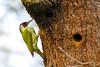 Woody Woodpecker (stellagrimsdale) Tags: woodpecker greenwoodpecker hollowpond tree bark bird birdphotography birding beak