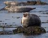 Who are you looking at? (Dave2638) Tags: 2018 scotland kintyre seal april machrihanish water sea nature pup