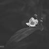 Honeyflower (e-lias hun) Tags: honey flower helios 44m4 m42 vintagelens d7000 elias hungary blackandwhite