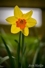 YellowOrange Dafodil_rc (Sean Harkin) Tags: nikond600 cosinon 55mmf14 dof garden flower dafodil vintagelens classiclens manualfocus cosinon1455mmlens 55mm