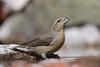 MRC_3562 Piquituerta/Crossbill (Explored) (Obsies) Tags: crossbill nikon piquituerto pajaros birds drinking water thirsty pond nature wildlife