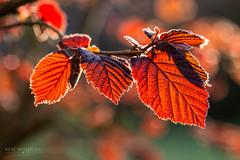 IMG_0551-2 (René Weissflog Photography) Tags: hazelnut goldenhour backlit sun glow leaf